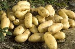 La Ratte aardappelen per kilo Frankrijk