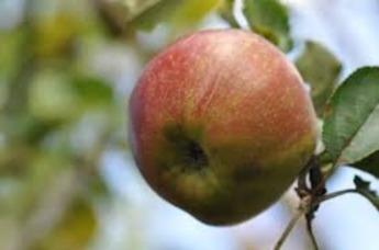 Goudreinetten appels grof per kilo