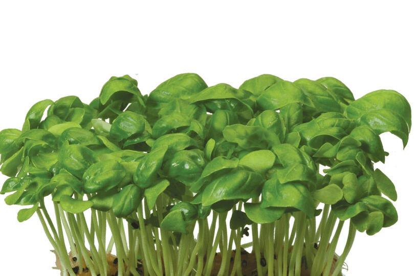 Sisho basilicum cress 16 doosjes
